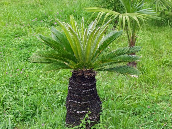 Пальма сабаль (sabal)