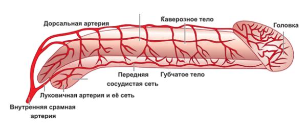 Кровоснабжение полового члена