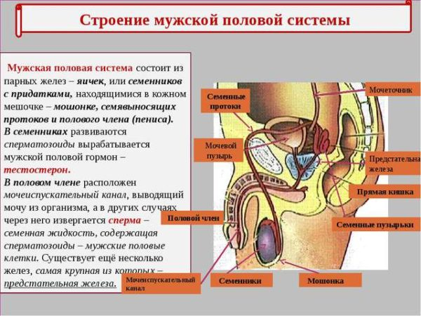 Мочеполовая система мужчин