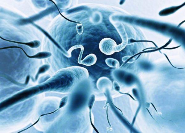 Секрет простаты увеличивает двигательную активность сперматозоидов