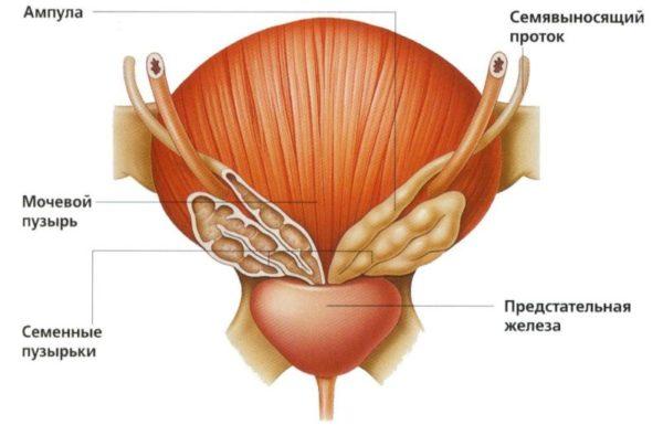 Форма и расположение предстательной железы
