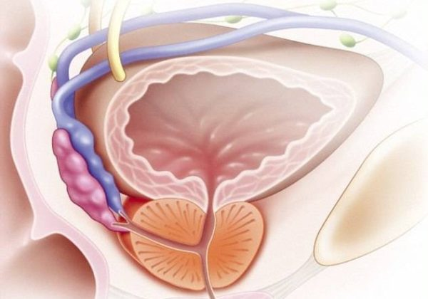 Предстательная железа - что это такое: основные функции предстательной железы