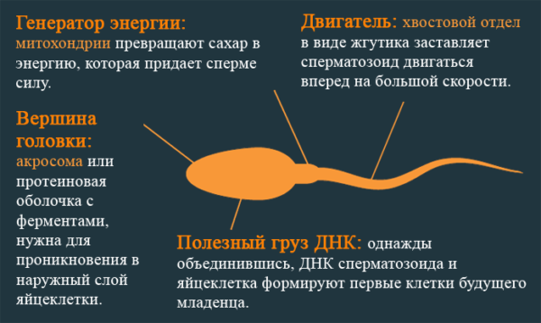 Анатомия сперматозоида