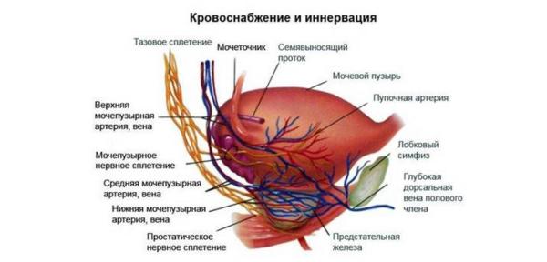 Простата покрыта сетью кровеносных сосудов и нервных волокон