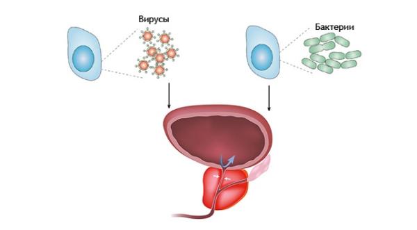 Предстательная железа выступает в роли барьера для патогенных микроорганизмов