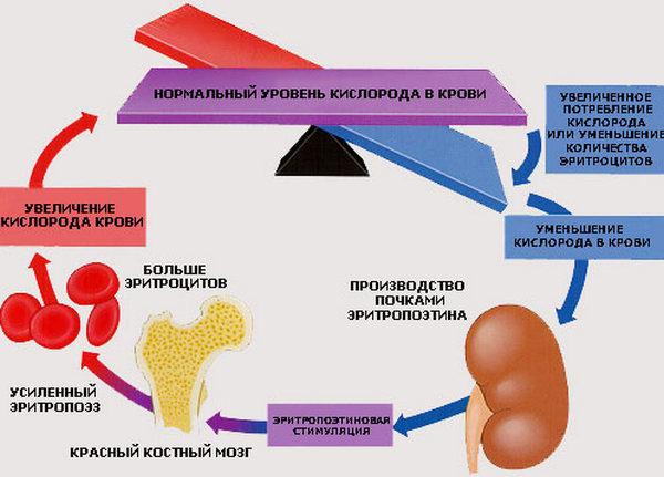 Зачем нужен эритропоэтин?
