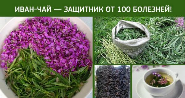 Иван-чай - защитник от 100 болезней