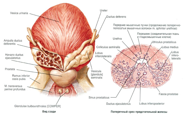 У мужчин пролактин регулирует рост железистой ткани простаты